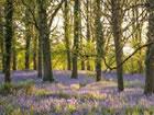 In diesem Frühling Glockenblumen Wald F...